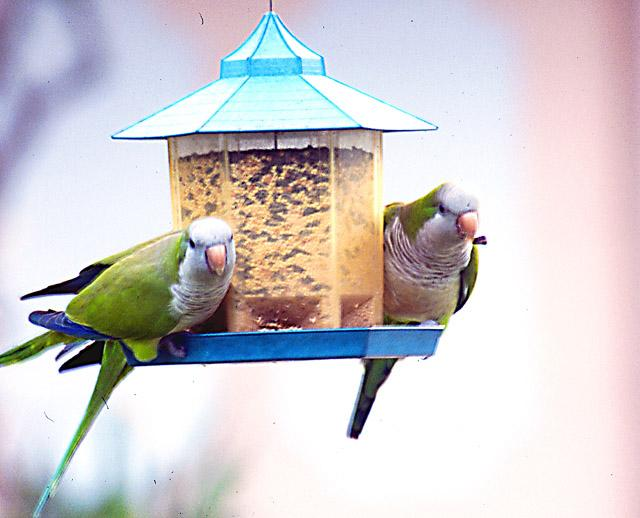More Monk parakeets - MonkParakeet8.jpg; Image ONLY