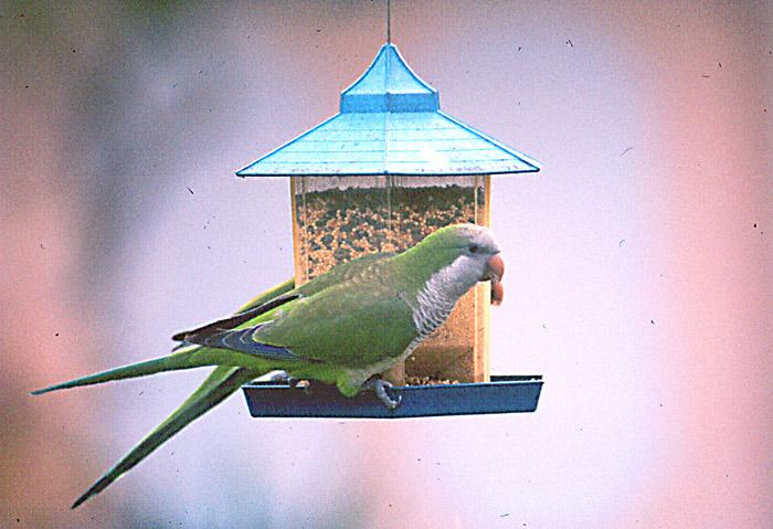 MonkParakeet 09-by Jose Sierra Jr.jpg