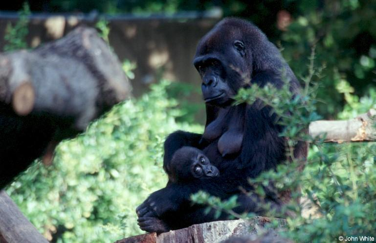 Mountain Gorilla Mother with Baby 1; Image ONLY
