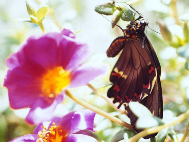 Pipevine SwallowTailFile 1 of 1 - NBSwallowTail.jpg (0/1); Image ONLY