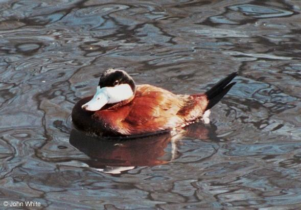 Birds see filename for species  [4/6] - North American Ruddy Duck (Oxyura jamaicensis jamaicensis)005.jpg (1/1); Image ONLY