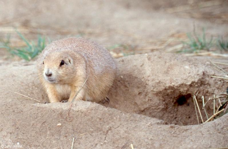 A few more Prairie Dogs 1; Image ONLY