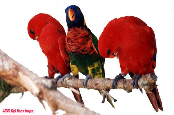 Some more Rainbow lorikeets File 3 of 7 - Rainbow6.jpg (1/1); Image ONLY