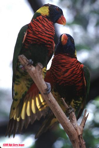 Some more Rainbow lorikeets File 6 of 7 - Rainbow9.jpg (1/1); Image ONLY