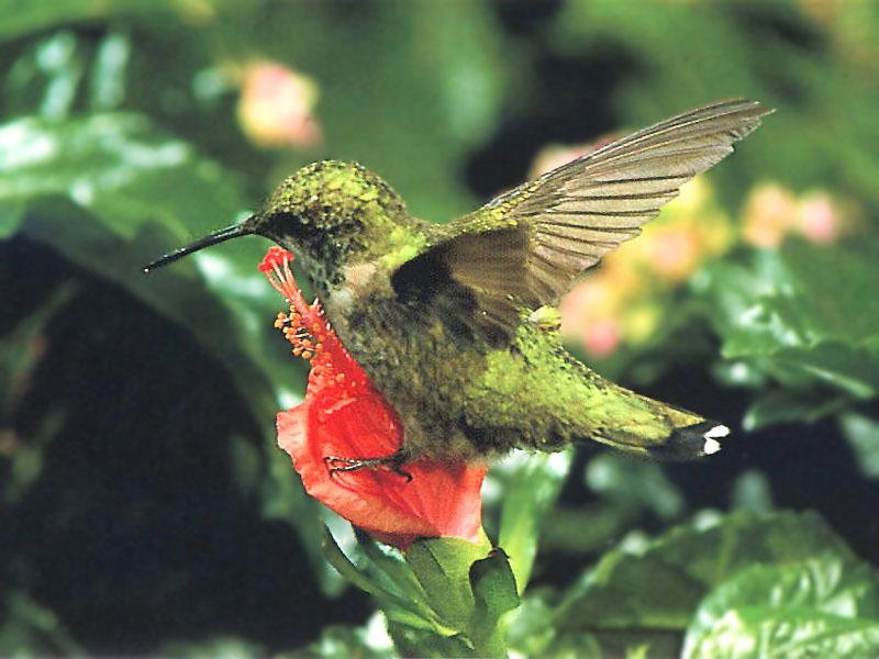 Re: REQ: chipmunks, deer, hummingbirds - Ruby-throated Hummingbird 67; Image ONLY