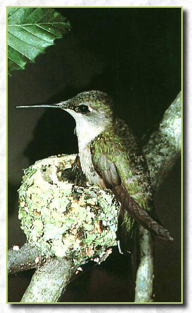 Hummingbird - Ruby-throat; Image ONLY