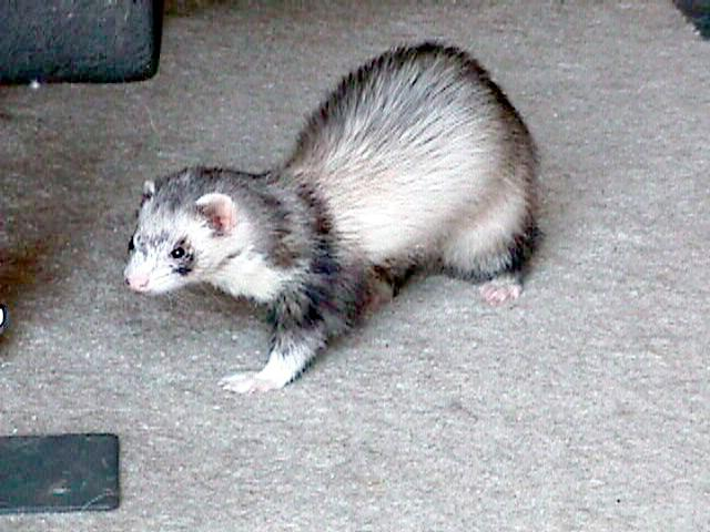 Silver Mitt Ferret; Image ONLY
