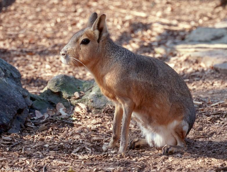 Please Identify this large rabbit or rodent 2; Image ONLY