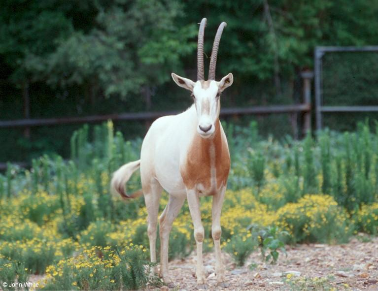 Scimitar-horned Oryx (Oryx dammah)2; Image ONLY