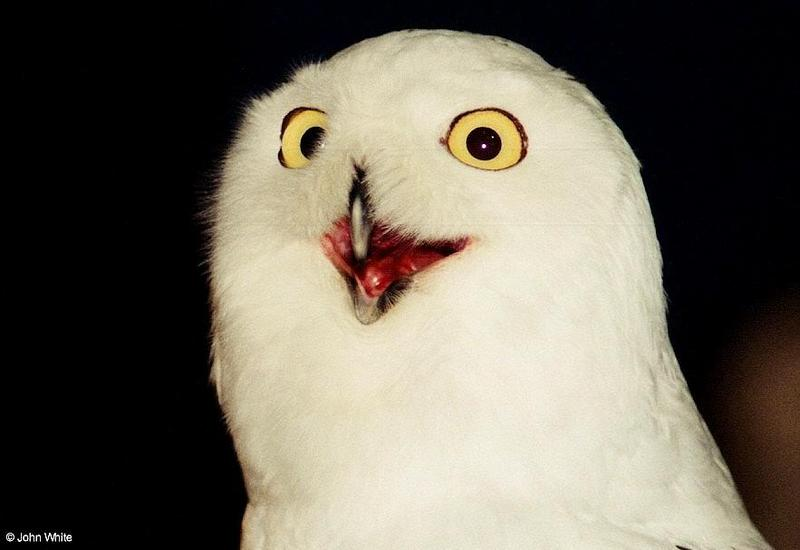 Snowy Owl (Nyctea scandiaca)004 - Silly looking Face; DISPLAY FULL IMAGE.