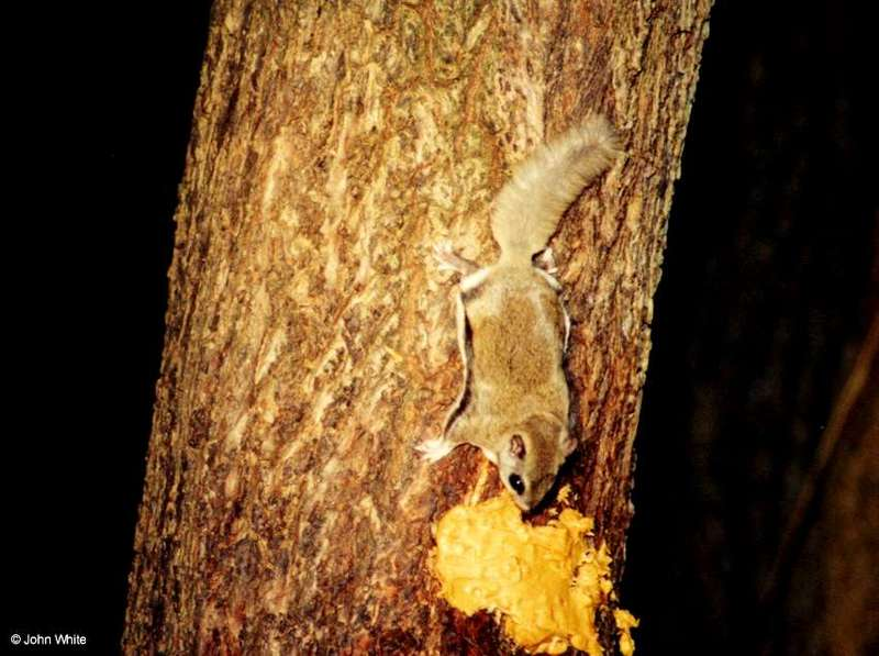 Southern Flying Squirrel (Glaucomys volans volans)8; DISPLAY FULL IMAGE.