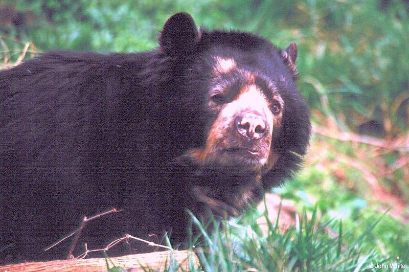 Spectacled Bear; DISPLAY FULL IMAGE.