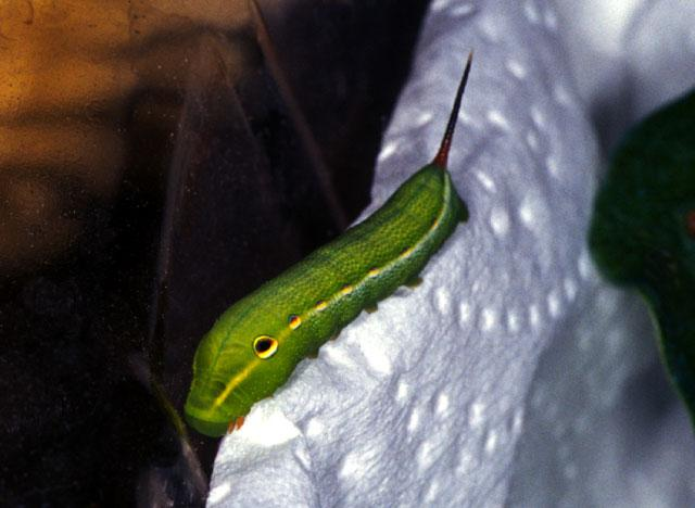 Sphinx Moth Caterpillar - SphinxCat2.jpg; Image ONLY