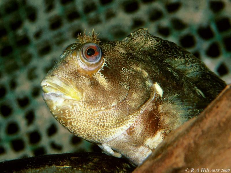 Tompot Blenny (Parablennius gattorugine); DISPLAY FULL IMAGE.