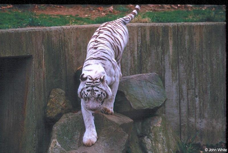 White tiger14-by John White.jpg