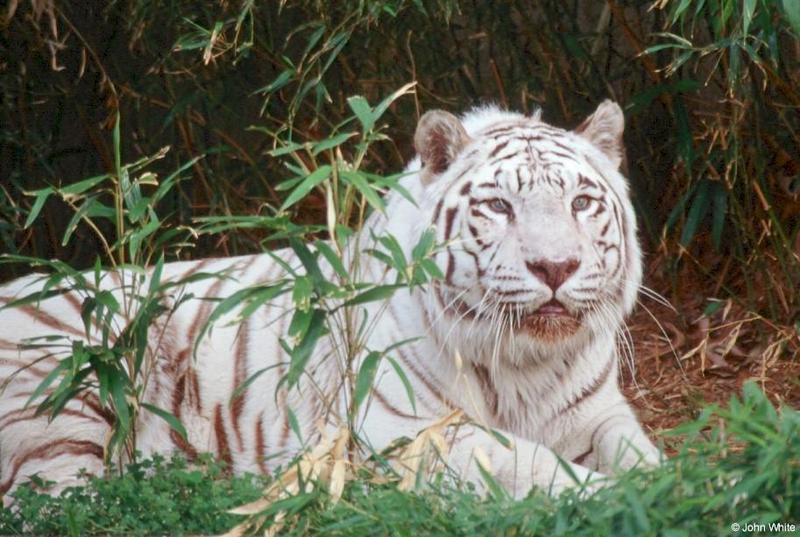 White Tiger (201); DISPLAY FULL IMAGE.