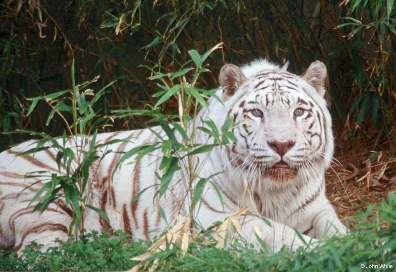 White Tiger (202); DISPLAY FULL IMAGE.