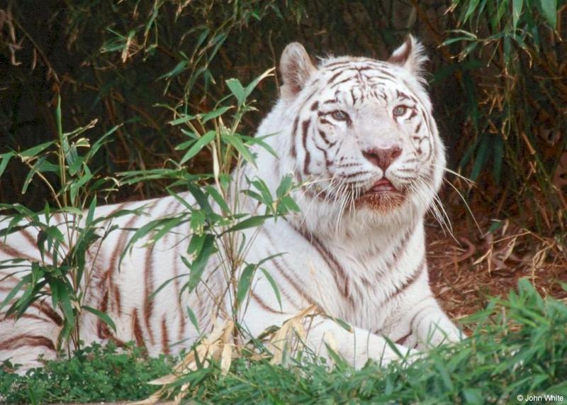 White tiger205-by John White.jpg