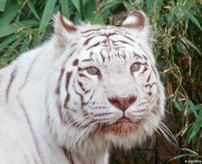 White Tiger (207); DISPLAY FULL IMAGE.