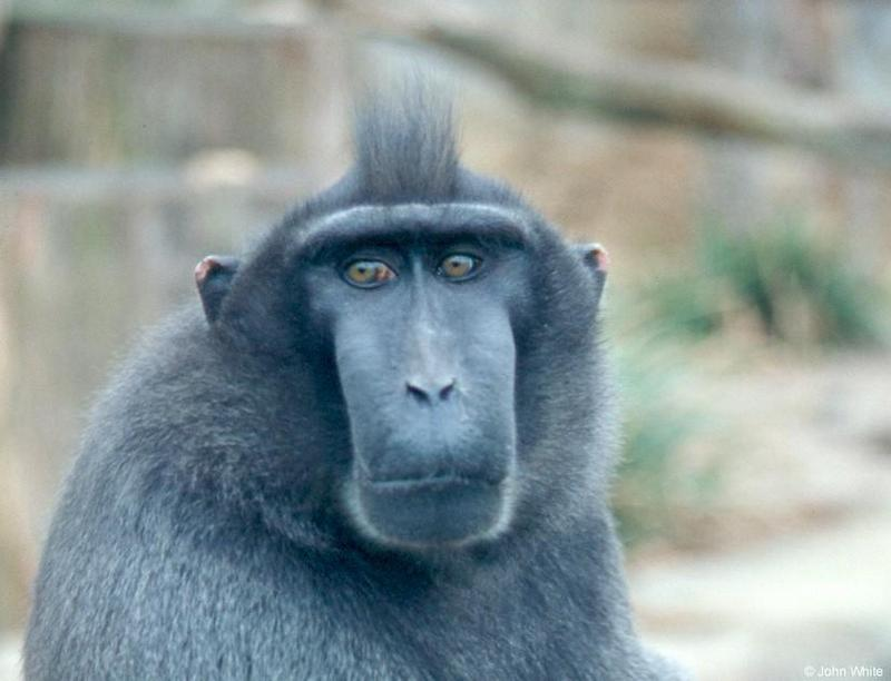 Monkey #2 - Celebes Crested Macaque (Macaca nigra) <!--검둥원숭이-->; DISPLAY FULL IMAGE.