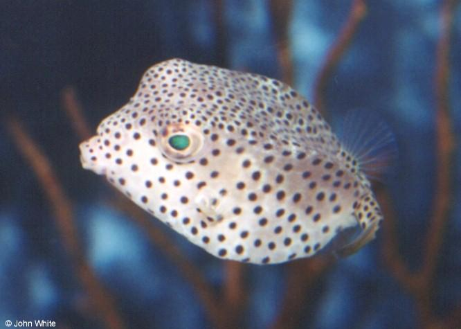 Puffer Fish; Image ONLY