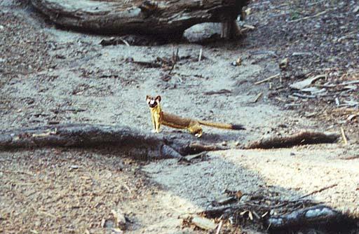 Re: has anyone a picture of a weasel for me? -- Long-tailed Weasel; Image ONLY